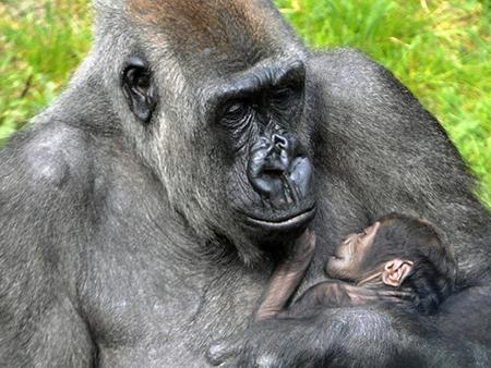 Moeder Tamani met gorillababy Thabo. Foto: Diergaarde Blijdorp/Rob Doolaard.