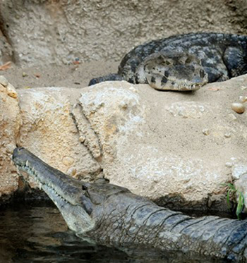 Krokodillen in diergaarde Blijdorp. Foto: Blijdorp