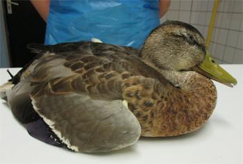 De toxine die de botulisme bacterie uitscheidt verlamt de spieren van de vogels. Het dier kan niet meer staan of lopen, de vleugels en de kop gaan hangen en de vogel kan benauwd zijn. Foto Vogelklas