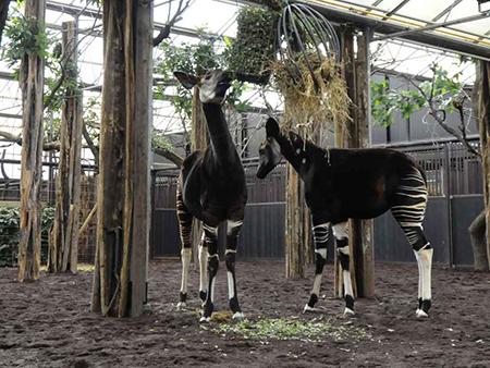 De Okapi is weer terug in Blijdorp. Foto: Blijdorp