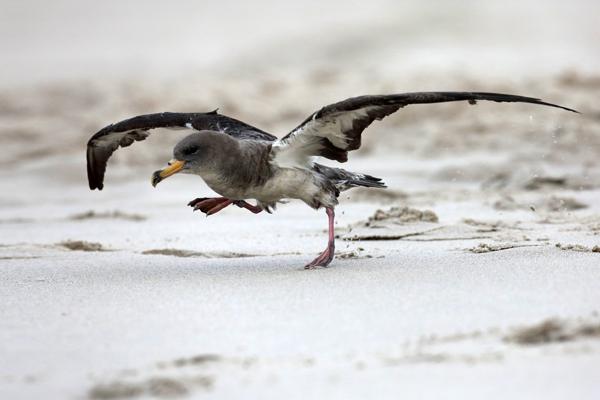 Het moment waarop de Kuhl's Pijlstormvogel weer de vrije ruimte van de zee kiest. Foto: Stichting Vogelklas Karel Schot