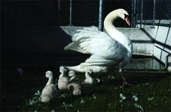 Moeder zwaan bleef als weduwe achter met haar vijf jongen. Foto: Vogelklas Karel Schot